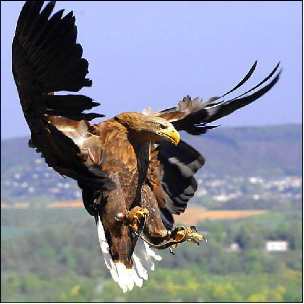 Parfait Un aigle avant de se poser Blague du Jour CG13