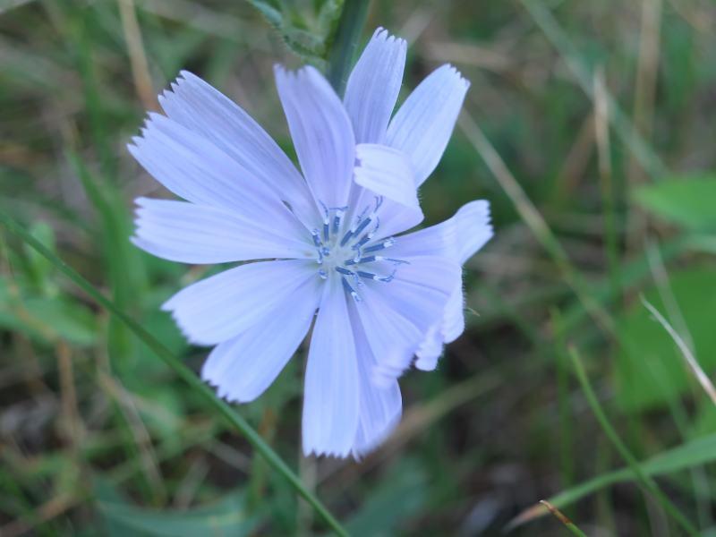 Fleur bleue chicorée